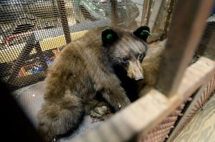 Cubs of bear no. 317 wake up in captivity, after their mother had been euthanized. (Jeremy Papasso/Boulder Daily Camera)