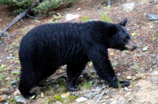 The black bear of Lake Louise (Courtesy of WikiCommons/HBarrison)